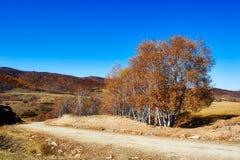 Abedul blanco del otoño Imagen de archivo libre de regalías