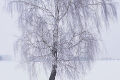 Abedul blanco en día escarchado del invierno Imagen de archivo libre de regalías