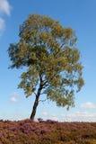 Abedul blanco en el campo del brezo Fotos de archivo libres de regalías