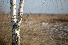 Abedul blanco en el campo en primavera temprana Fotografía de archivo libre de regalías