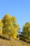 Abedul blanco en el otoño Foto de archivo libre de regalías