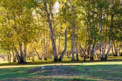 Abedul blanco en el otoño Fotos de archivo libres de regalías