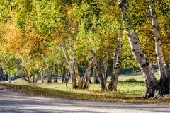Abedul blanco en el otoño Imágenes de archivo libres de regalías