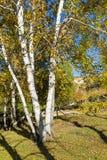 Abedul blanco en el otoño Fotografía de archivo