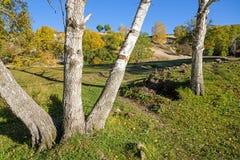 Abedul blanco en el otoño Foto de archivo