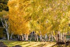 Abedul blanco en el otoño Fotografía de archivo libre de regalías