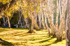 Abedul blanco en el otoño Imagenes de archivo