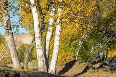 Abedul blanco en el otoño Imagen de archivo libre de regalías