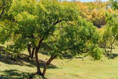 Abedul blanco en el otoño Fotos de archivo