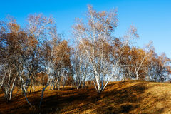 Abedul blanco en el prado Fotografía de archivo libre de regalías
