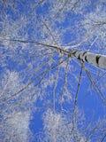 Abedul blanco en invierno Fotos de archivo