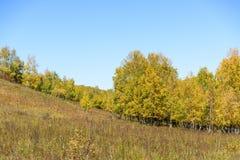 Abedul blanco en la ladera en el otoño Imagen de archivo