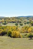 Abedul blanco en la ladera en el otoño Imagenes de archivo