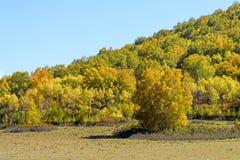 Abedul blanco en la ladera en el otoño Fotos de archivo libres de regalías