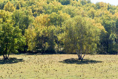 Abedul blanco en la ladera en el otoño Imagen de archivo libre de regalías