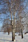 Abedul blanco en la nieve Imagen de archivo libre de regalías