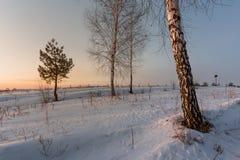 Abedul blanco en la nieve en invierno en el amanecer Imagen de archivo libre de regalías