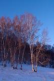 Abedul blanco en nieve Fotografía de archivo libre de regalías