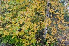 Abedul blanco en otoño, Marquette County, Michigan, los E.E.U.U. Fotos de archivo