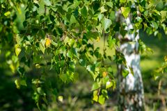 Abedul blanco en tiempo de primavera Foto de archivo libre de regalías