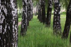 Abedul blanco en un prado verde Imagen de archivo libre de regalías