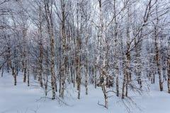 Abedul blanco europeo de la nieve del invierno, altos pantanos, Bélgica Foto de archivo libre de regalías