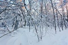 Abedul blanco europeo joven de la nieve del invierno, altos pantanos, Bélgica Imágenes de archivo libres de regalías