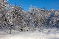 Abedul blanco europeo joven de la nieve del invierno, altos pantanos, Bélgica Imagenes de archivo