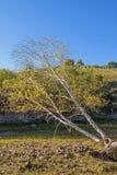 abedul blanco oblicuo en el otoño Foto de archivo libre de regalías