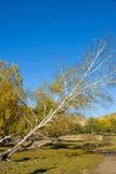 abedul blanco oblicuo en el otoño Imagen de archivo