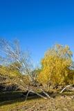 abedul blanco oblicuo en el otoño Imagenes de archivo