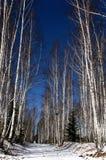 Abedul blanco y camino blanco en un bosque en primavera Fotos de archivo libres de regalías