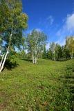 Abedul blanco y cielo azul Fotografía de archivo