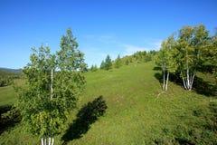 Abedul blanco y cielo azul Foto de archivo