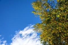 Abedul blanco y cielo azul Imagen de archivo