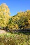Abedul blanco y corriente en el otoño Imagen de archivo libre de regalías