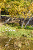 Abedul blanco y corriente en el otoño Fotos de archivo