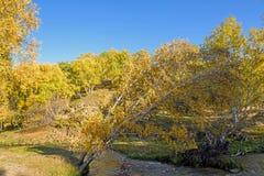 Abedul blanco y corriente en el otoño Foto de archivo libre de regalías