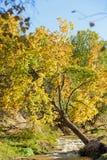 Abedul blanco y corriente en el otoño Fotos de archivo libres de regalías