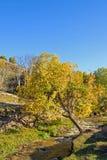 Abedul blanco y corriente en el otoño Imagenes de archivo