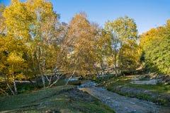 Abedul blanco y corriente en el otoño Imagen de archivo