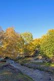 Abedul blanco y corriente en el otoño Foto de archivo