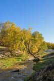 Abedul blanco y corriente en el otoño Imágenes de archivo libres de regalías