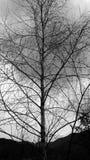 Abedul blanco y negro foto de archivo