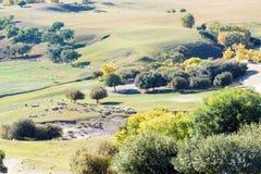 abedul blanco y ovejas de desatención en la ladera Imagen de archivo libre de regalías