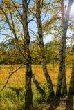Abedul blanco y prado Fotografía de archivo