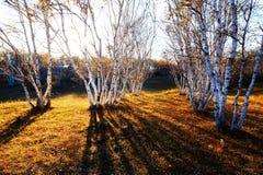 Abedul blanco y puesta del sol de la sombra Imagen de archivo