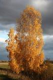 Abedul brillante del otoño Imágenes de archivo libres de regalías