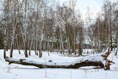 Abedul caido en bosque del invierno Fotos de archivo