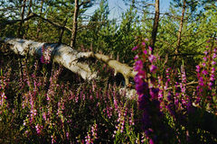 Abedul caido que miente en arboleda del brezo en la roca en el kraj de Machuv del área turística en paisaje checo Fotos de archivo